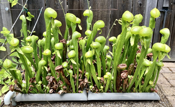 Darlingtonia pots