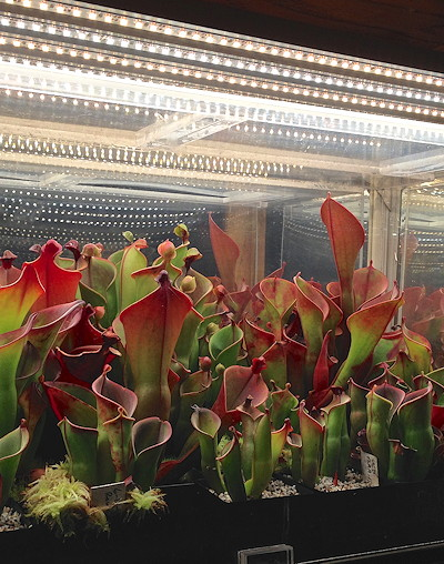 Heliamphora under LEDs