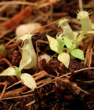 Nepenthes seedlings