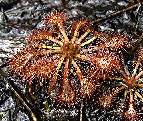Drosera spatulata, New Zealand