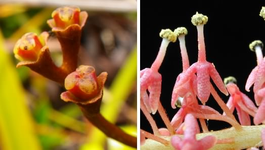 Nepenthes flowers