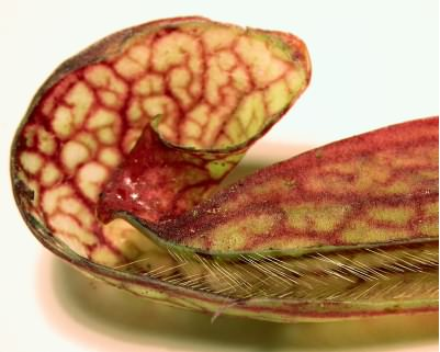 Inside Sarracenia psittacina trap